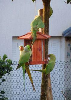 Zut alors! Wild Indian Rose-ringed parrots of Paris: