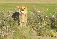 # Lion softer side by Bridgena Barnard on 500px