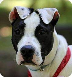 Georgia Sugar Grace - Terrier mix - #Chesterfield #VIRGINA - 1 yr old - K9 Rescue of VA - http://www.k9rescueofva.com http://www.adoptapet.com/pet/8892571-chesterfield-virginia-terrier-unknown-type-medium-mix