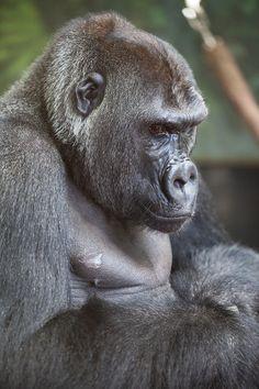 Azizi - Western lowland gorilla