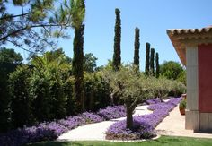 Undulating pathway with vibrant seasonal colour, Olive trees and large Cypresses.