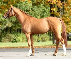 Zangersheide registered sport horse stallion, Comfilo Plus Z.