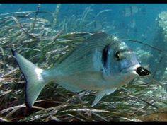 DORADES QUI MANGENT A L'HAMECON, DU JAMAIS VU Giant Fish, Fishing Techniques, Sea Fishing, Fishing Equipment, Images, Shop, Almond, Animaux, Searching