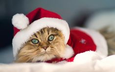 here comes santa-cat! Kittens Cutest, Cats And Kittens, Cute Cats, Funny Cats, Funny Animals, Cute Animals, Christmas Kitten, Christmas Animals, Merry Christmas