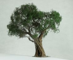 Drzewo oliwne (Olea Europaea)