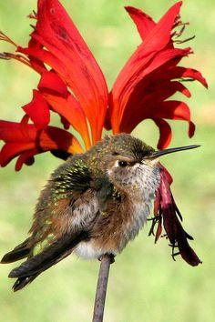 Pretty on red Hummingbird .                                                                   O MEU PASSATEMPO AVES                               (Aves numero 12.515).