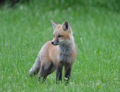 fox(kit | debbie burton | Flickr
