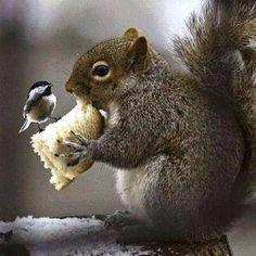 Gray squirrel  black capped chickadee