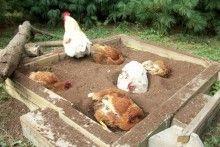 DIY-Chicken-Dust-Bath-Box