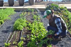 Tending the plants and harvesting takes place daily on the rooftop garden at STEM Kitchen Garden, a farm-to-table restaurant in San Francisco topped with an on-site farm. Photo: courtesy of Farmscape