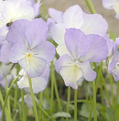 Viola 'Fiona' Very scented white flowers slightly flushed with pale blue. Excellent vigorous perennial habit.