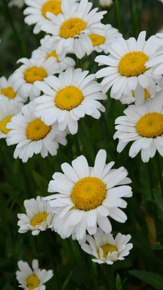 Flowers - Daisies - by Heather