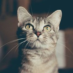 Double tap if you think this cat is MAJESTIC Follow @katkittenlovers . #katkittenlovers . #catsagram # #cats #kitten #kitty #kittens #catsagram #catstagram #instagood #pet #pets #animal #animals #petstagram #petsagram #photooftheday #catsofinstagram #ilovemycat #instagramcats #catoftheday #caturday #lovecats #furry #sleeping #lovekittens #adorable #instacat