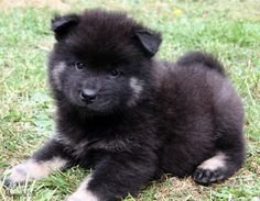 Eurasier dog photo | Eurasier Home | Contact US | Albion Eurasiers Site Map