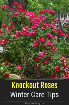 How do you give Knockout roses winter protection? We share tips on pruning shrubs, and getting plants ready for winter depending on your zone. Pruning Knockout Roses, Knockout Roses, Pruning Shrubs, Plant Care, Growing Flowers, Plant Care Today, Autumn Garden, Plants, Garden Fountain
