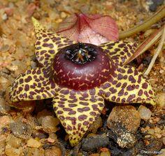 Orbea elegans flower & bud by Martin_Heigan, via Flickr