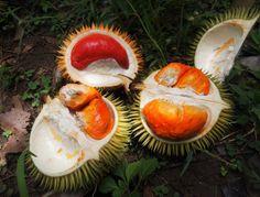 orange fleshed durian , durian merah, ( Durio graveolens)