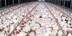 """Tavukların kafasının, tüylerinin, bacaklarının ve iç organlarının işlemden geçirilip tavuklara yem yapıldığı, eğer tavuk sakatatının yem yapılmasını yasaklayan ve iki kere ertelenen karar yürürlüğe girmezse """"yamyam tavuk"""" yemeye devam edeceğimiz iddia ediliyor..."""