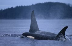 Orcas in Prince William Sound
