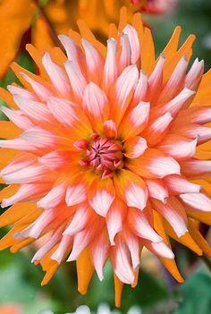 I love Flowers ~ Dreamy Nature, Dahlia