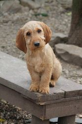 Photo Gallery - Basset Fauve de Bretagne-The correct colour for a Fauve is anything from fawn to red but it should be solid with darker shaded ears.