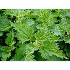 Nettles are rich in iron and Vitamin C, valued by herbalists for their astringent action and their ability to support the circulation making them idea for laminitis and arthritis. Ideal as a spring tonic, blood cleanser and conditioner. Encourages the dapples in horses' coats. http://www.totally-tack.co.uk/p_2545_hilton-herbs-nettle-tincture-14-25