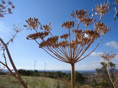 dried fennel head, O'Halloran Hill, South Australia