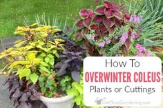Easy steps for overwintering coleus plants. Coleus can be overwintered indoors as cuttings or houseplants, it's worth the effort to save money every spring. Fruit Garden, Edible Garden, Garden Plants, Indoor Plants, Landscaping Plants, Outdoor Landscaping, Shade Garden, Indoor Garden, Vegetable Garden