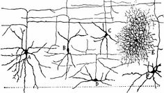 http://faculty.washington.edu/rhevner/interneurons.jpg  Drawings by Cajal of interneurons with ascending axons-are these Martinotti cells?