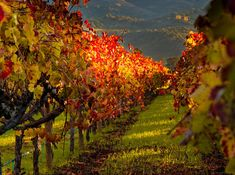 Fall colors in the Napa valley, California.