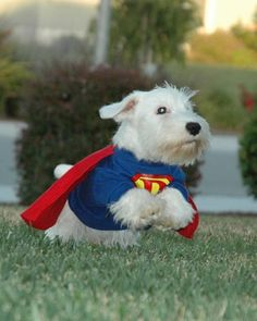 """Super Dave, a Sealyham terrier from Hollister, California. """"Up, up, and away ... it's Super Dave,"""" writes Sealygal. """"Super Dave loves his costume. He would leap around like he had super powers and would save the world."""""""