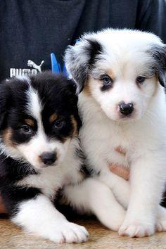 10 Cutest Australian Shepherd Pups