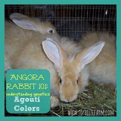 Angora Bunny 101:  French Angora Rabbit Genetics, Agouti colours part 2