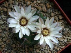 Gymnocalycium riojense ssp. piltziorum