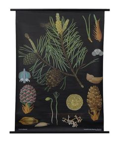 Pine Botanical Poster