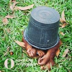 #SaveTheOrangutan  Save The Orangutans, Animals Are Beautiful People