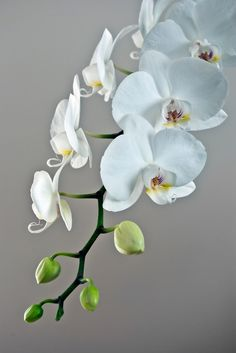 """White orchid"" by Darius Narmontas: A beautiful white orcid. // Buy prints, posters, canvas and framed wall art directly from thousands of independent working artists at Orchid Pot, Moth Orchid, Phalaenopsis Orchid, Orchid Care, Exotic Flowers, Beautiful Flowers, Orchid Flowers, Orchid Drawing, Orchids Garden"