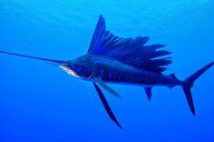 BioOrbis: O Peixe mais Rápido do Mundo