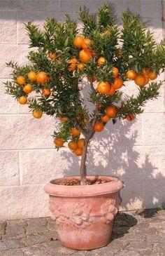Fruit Trees in Pots Add Garden Pizzazz
