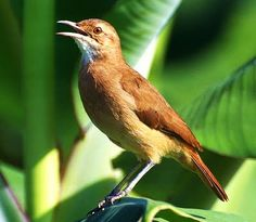 The Rufous Hornero (Furnarius rufus) is a medium-sized ovenbird in the family Furnariidae It occurs in eastern South America, and is the national bird in Argentina and Uruguay.