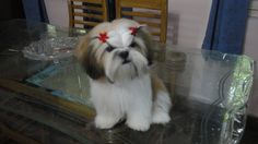 She is 5 month old Shih Tzu Pup. Cute, naughty, very active and lovable.She love to ride and walk. She is our style icon. Perro Shih Tzu, Shih Tzu Hund, Maltese Shih Tzu, Shih Tzu Puppy, Shih Tzus, Maltese Dogs, Cute Puppies, Cute Dogs, Dogs And Puppies