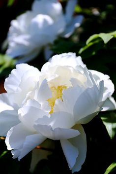 White Peony. Oh my goodness look at this beauty! ❤️#beautiful #peony ❤️