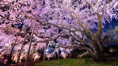 Tokyo for cherry blossoms. Blooming takes place from late February to late April, depending on the location.