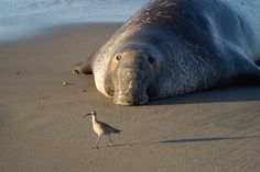 Northern elephant seal (Mirounga angustirostis). California, Monterey Bay National Marine Sanctuary.  Photographer: Robert Schwemmer, CINMS, NOAA.  be sure to check out NOAA's Flickr account!
