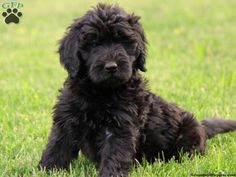 Looks just like Linus! Goldendoodle Black, Cockapoo Dog, Baby Puppies, Cute Puppies, Poodle Puppies, Black Golden Doodle, Golden Doodles, Pet Dogs, Pets