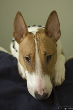 Bully's portrait)) #English #Bull #Terrier #Dog #Dogs #Terriers #Pet #Puppy #Animal #Portrait
