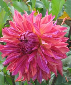 Dahlia 'Penhill Dark Monarch', pn, 20 - (Nice with Lilac time?) x replace labyrinth in cutting square 3 x Just flowering beg of Sept Sun Garden, Garden Beds, Flower Names, My Flower, Purple Dahlia, Dahlia Flowers, Gladioli, Summer Plants, Herbaceous Perennials