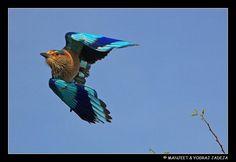 Indian Roller (Coracias benghalensis) in flight. Thol Bird Sanctuary, Mehsana District, Gujarat, India.