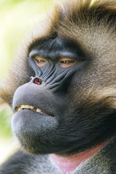 Another gelada portrait | I like this close portrait of a gelada baboon!