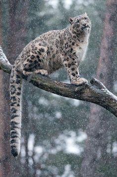 Image result for porcelain snow leopard